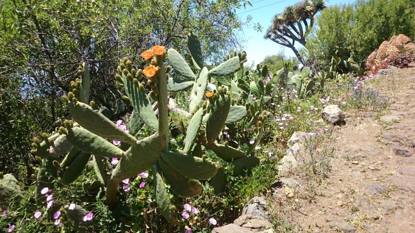 Kaktus m. orangefarbenen Blüten