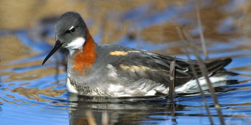 red-necked_phalarope_6203370883_copyright-by-u-s-fish-and-wildlife-service-headquarters